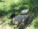 Beran a ovce bílí, jehňata černá, jedno líně ležící, druhé ve stínu se pasoucí.