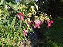 Květ netýkavky žláznaté za letního vedra.