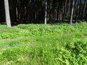 Břehy Svratky s lopuchy na okraji smrkového lesa.