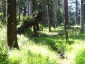 Zklidněný přítok Svratky v lese nad Cighájí.
