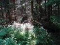 Temný a prosluněný les nad Svratkou.