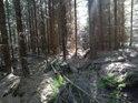 Smrkový les kolem prameniště Svratky je prozářený Sluncem.