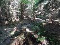 První metry řeky Svratky ve smrkovém lese.